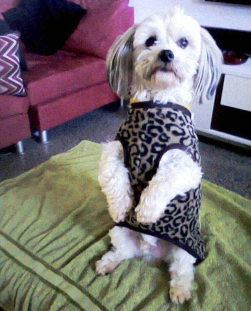 what is internationalpetsitter tooswoomba inland australia dog pup pet sitter